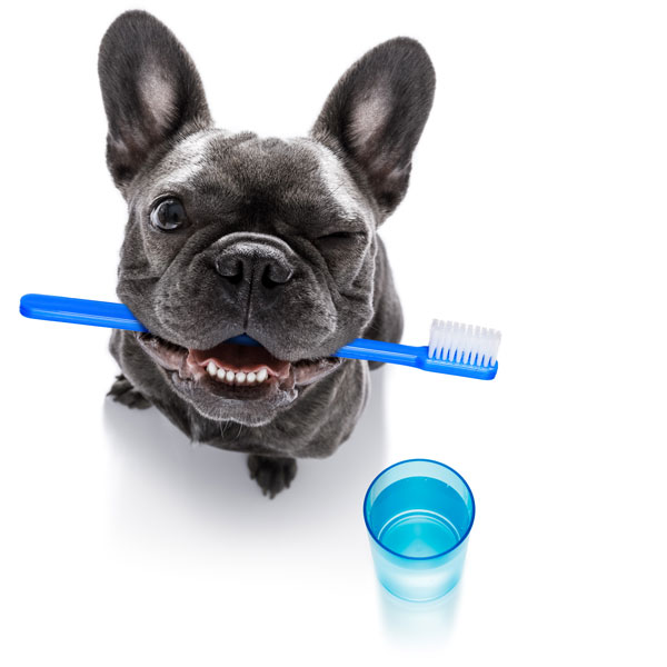 Mops mit Zahnbürste in der Schnautze